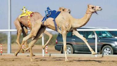 «مشهورة» و«الصعب» ينتزعان الأفضلية في سباق ولي العهد للهجن