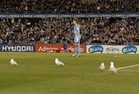 حط سرب من النوارس في ملعب لكرة قدم في أستراليا خلال مباراة بين فريقي ملبورن فيكتوري وفيلنغتون فونيكس وقد صعبت النوارس على الفريقين التركيز على المباراة.
